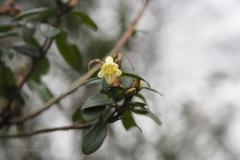 hengel#(20210103)a flora
