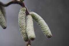 hazelaar#(20210103)aa flora