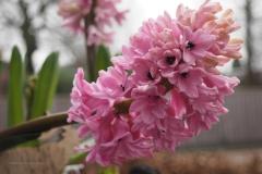 hyacinth#(20210205)a flora