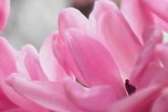 hyacinth#(20210205)aa flora