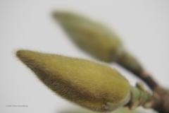 magnolia#(20210208)li flora