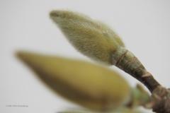 magnolia#(20210208)re flora