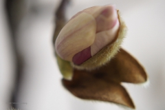 magnolia#(20210213)d flora