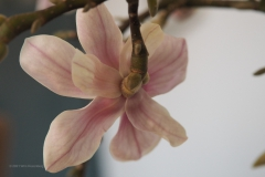 magnolia#(20210213)b flora