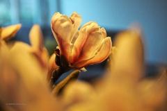 magnolia#(20200216)c flora
