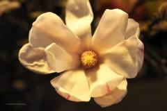 magnolia#07