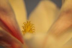 magnolia#(20200216)da flora