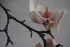 magnolia#(20200219)aa flora