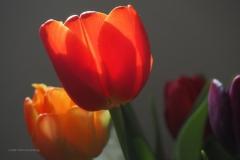 tulpen#(20210219) flora