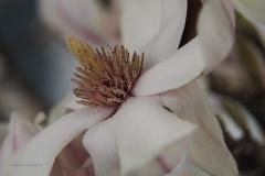 magnolia#10