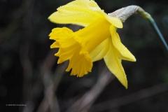 narcis#(20200220) flora