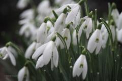 sneeuwklokje#(20200220) flora