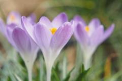 krokus#(20210223)b flora