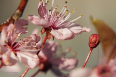 prunus#(20200304) flora