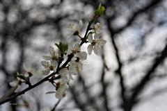 prunus#(20210306)a flora