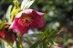 helleborus#(20210318) flora
