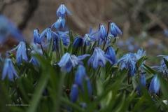 hyacinth#(20210321) flora