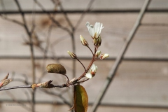 krentenboompje#(20200323)b flora