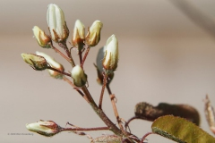 krentenboompje#(20200323)a flora