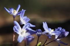 scilla#(20210329) flora