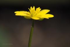 speenkruid#(20210329) flora