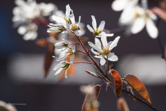 krentenboompje#(20200323)c flora