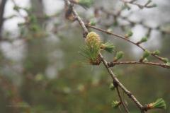 larix#(20210410)b flora