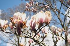 magnolia#(20210413)b flora
