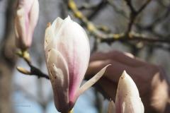magnolia#(20210413)c flora
