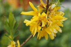 forsythsia#0725(20200414) flora