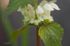 dovenetel#(20200415) flora