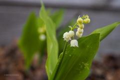 lelietjevandalen#(20200419)e flora