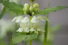 dovenetel#(20200419) flora