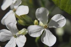 pinksterbloem#(20200419) flora