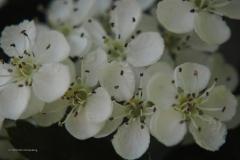 meidoorn#(20200424)b flora
