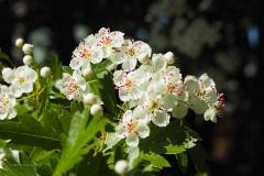 meidoorn#(20200424)a flora