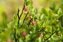 bosbes#(20200425)a flora