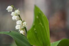 lelietjevandalen#(20200430)g flora