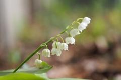 lelietjevandalen#(20200430)f flora