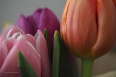 tulpen#(20200501) flora
