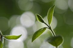 kamperfoelie#(20200503)a flora