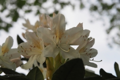 rhododendron#(20210510) flora