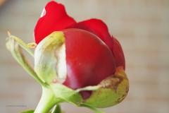 pioenroos#(20200521) flora