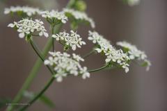 fluitenkruid#(20210522) flora