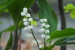 lelietjevandalen#(20210522)a flora