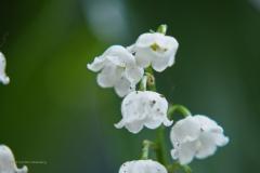 lelietjevandalen#(20210522)b flora