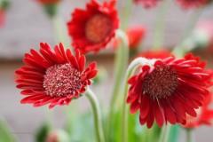 gerbera#(20200531)c flora
