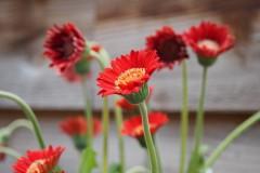 gerbera#(20200531)a flora