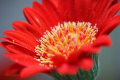 gerbera#(20200531)b flora