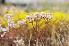 sedum#(20200525) flora